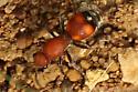 Velvet Ant Sp - Dasymutilla