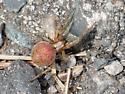 tiny pinkish brown spider - Neoscona arabesca