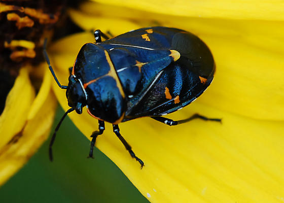 Blackest harlequin bug I've seen - Murgantia histrionica