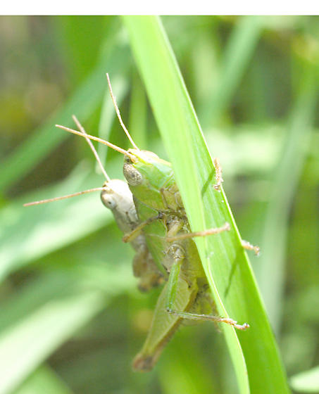 grasshoppers - Dichromorpha viridis - male - female