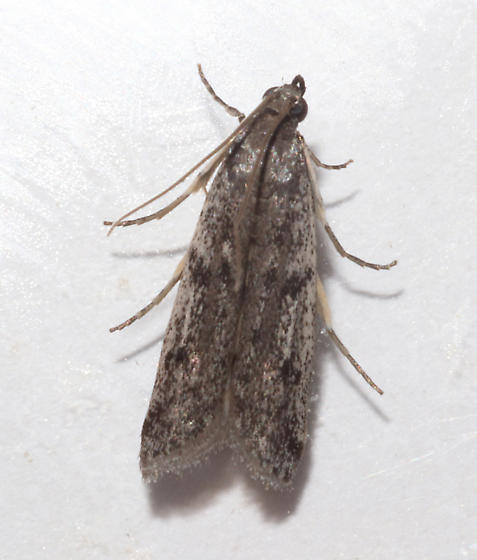 Pyralidae, in the house, dorsal - Phycitodes reliquellum
