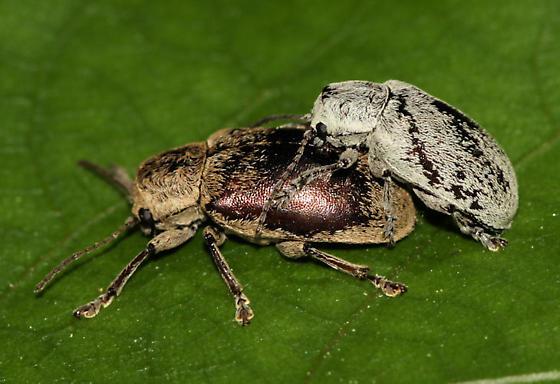 041411Beetle2 - Glyptoscelis pubescens - male - female