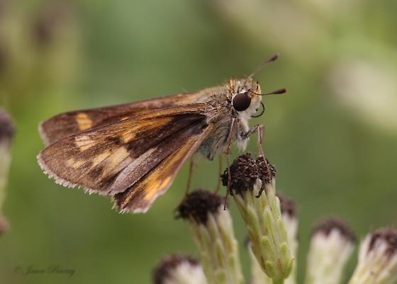 Sachem - Hodges #4049  - Hylephila phyleus - female