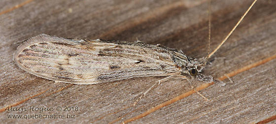 Leptoceridae - Oecetis
