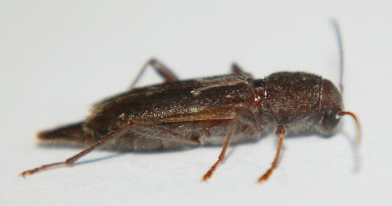 Cerambycidae - Xylotrechus sagittatus