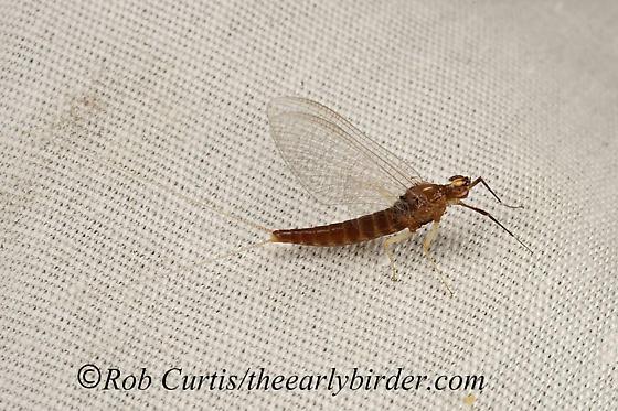 9048410 mayfly - Isonychia