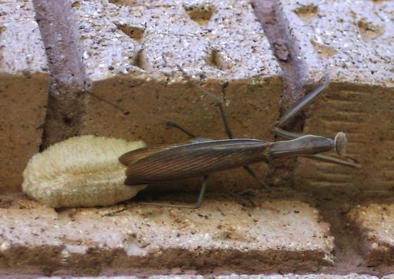 Fresh as it gets3 - Mantis religiosa - female