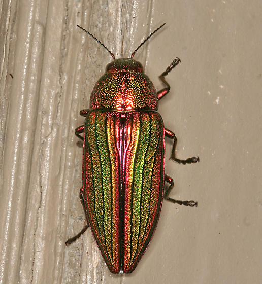 Metallic Wood Boring Beetle - Buprestis aurulenta
