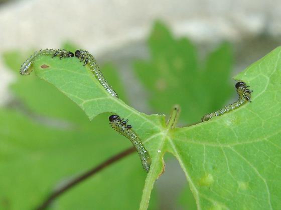 Sawfly larvae on Field bindweed - Sphacophilus cellularis