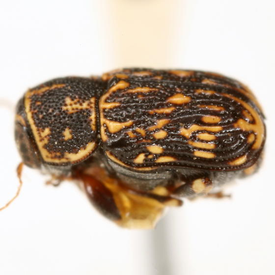 Pachybrachis gracilipes Fall - Pachybrachis gracilipes