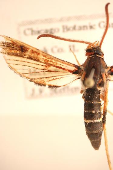 Sesiidae 2 - Podosesia syringae