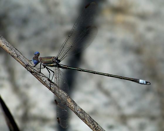 Great spreadwing - Archilestes grandis - male
