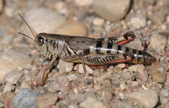 M. dawsoni - Melanoplus dawsoni - female