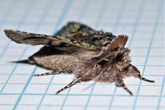 Hirsute moth - Behrensia conchiformis
