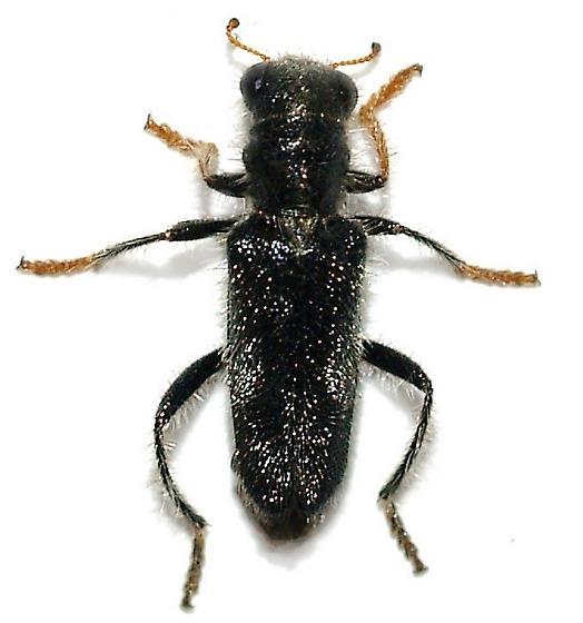Phyllobaenus sp.? - Phyllobaenus longus