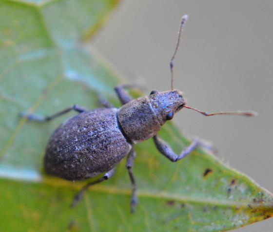 Broad-nosed Weevil - Naupactus cervinus