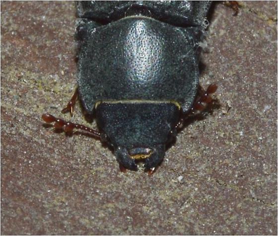 Tenebroides sp. - Tenebroides laticollis
