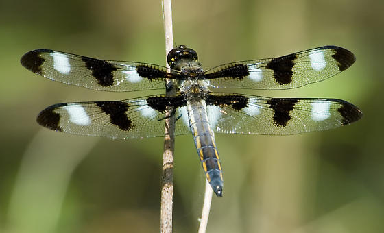 Twelve-Spotted Skimmer at Valley Forge - Libellula pulchella - male