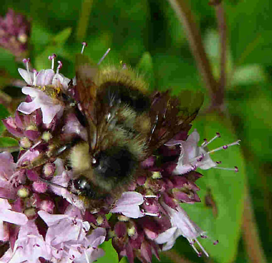 Bumble bee on oregano - Bombus mixtus