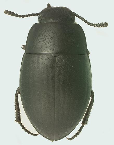 Cybotus estriatus (LeConte) - Cybotus estriatus