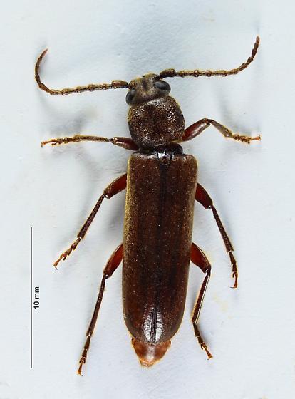 A mating pair of Asemini....  - Megasemum asperum - female