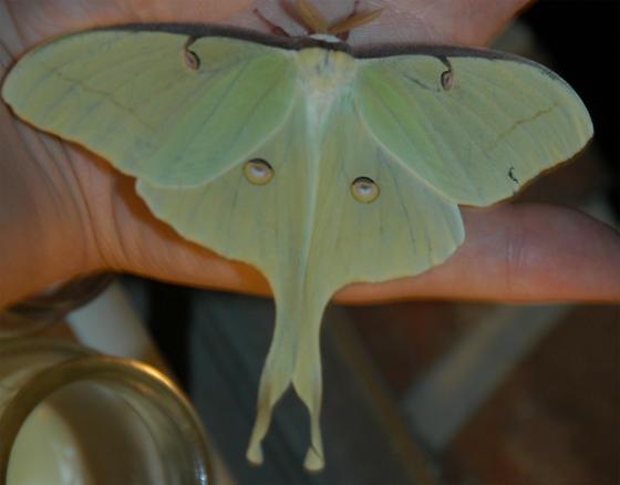 Luna Moth Actias Luna Bugguide