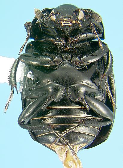 False clown beetle - Sphaerites politus