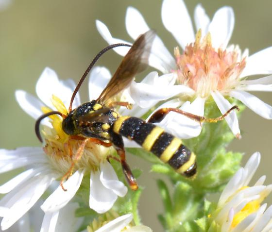 What is this wasp mimic? - Metopius
