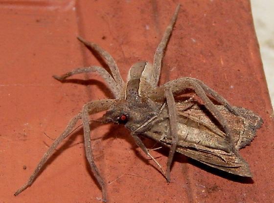 spider eating a moth - Pisaurina mira