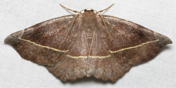 brown moth with yellow line - Eutrapela clemataria