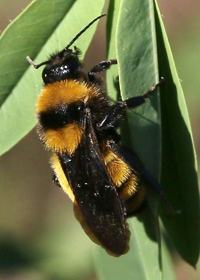 bee, yellow & black - Bombus sonorus