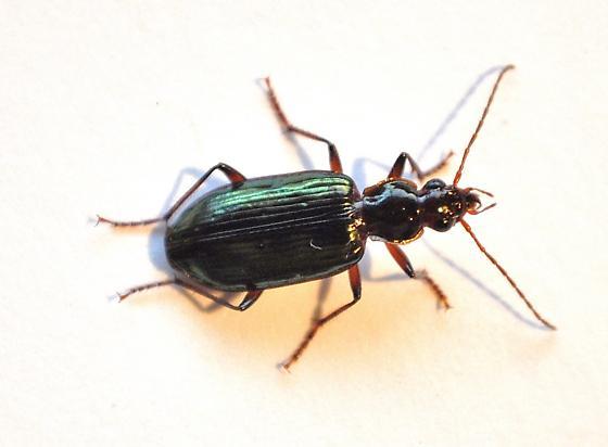 Agonum sp. - Metacolpodes buchanani - female