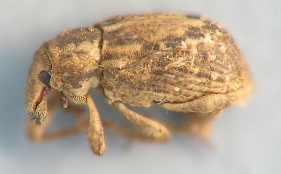 pale tan weevil - Lissorhoptrus oryzophilus