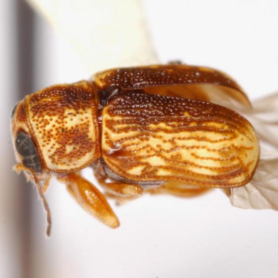 Pachybrachis signatus Bowditch - Pachybrachis signatus