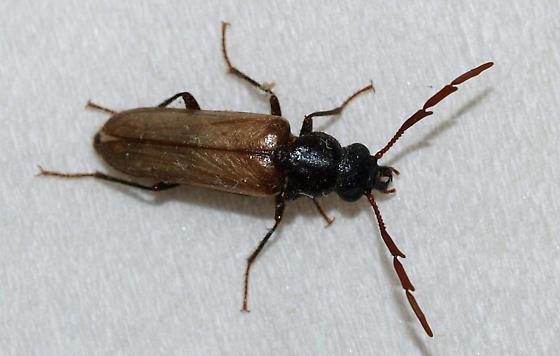 Beetle with huge 3 last members of antennae - Trimitomerus riversii