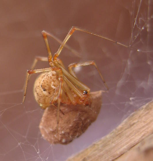 American house spider egg sac - photo#34