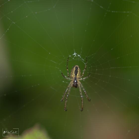 sheet web spider? - Metellina