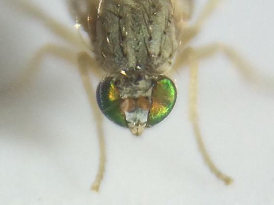 Fly - Nanomyina barbata