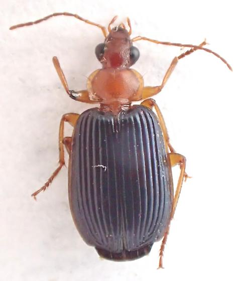 7.9 mm strong striation - Lebia