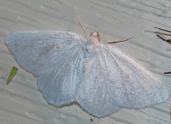 The Vestal - Cabera variolaria