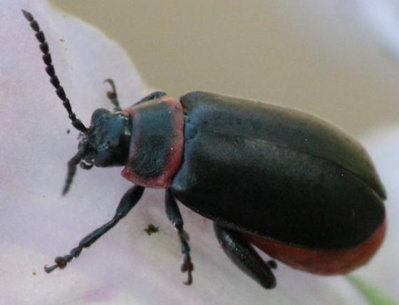 Red-rimmed Black Flea Beetle - Kuschelina vians