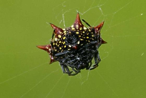 Horned Spider - Gasteracantha cancriformis