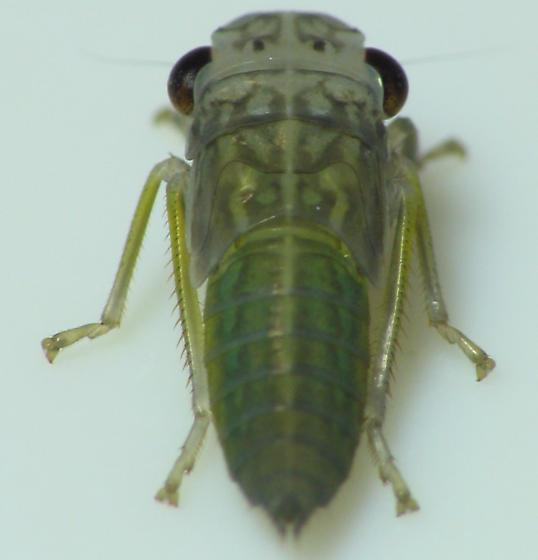 Hopper Nymph - Oncometopia orbona