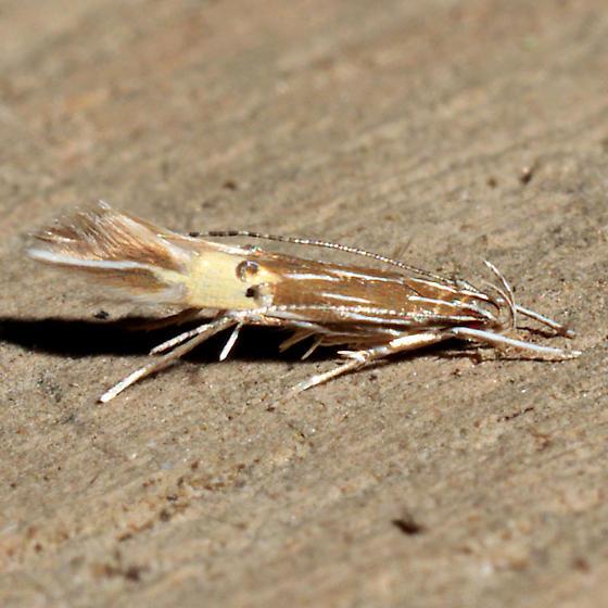 Cosmopterix floridanella