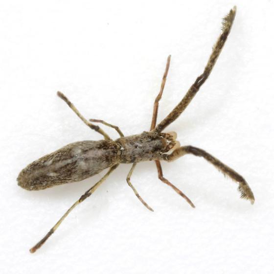 Miagrammopes mexicanus O. P.-Cambridge - Miagrammopes mexicanus - male