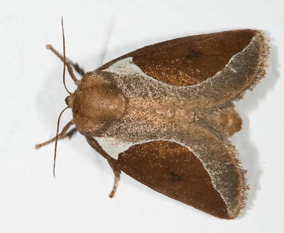 Skiff Moth - Prolimacodes badia - female