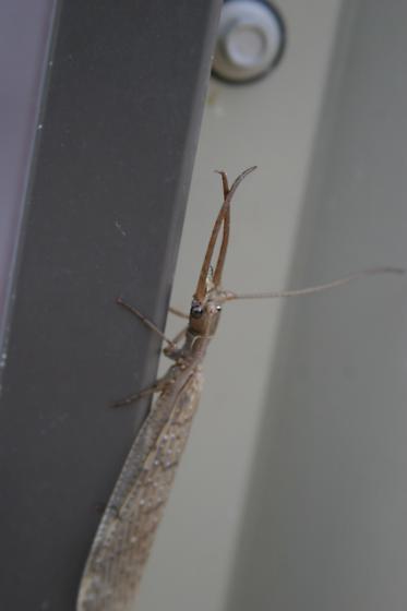 Male C. luteus - Corydalus luteus - male
