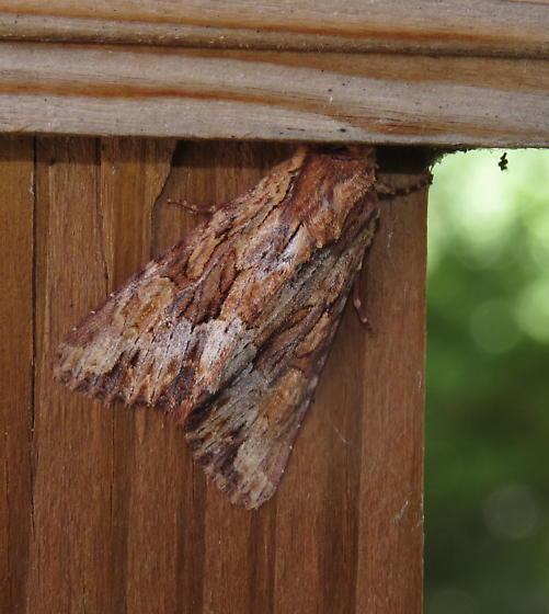 Owlet moth - Apamea atrosuffusa