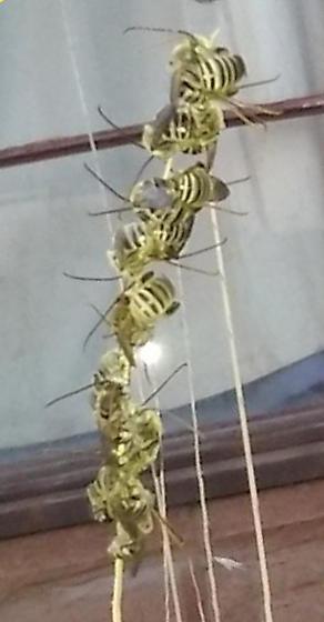 Syrphid Flies? - Melissodes