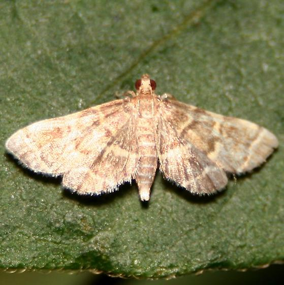 Yellow-spotted Webworm Moth - Dorsal - Anageshna primordialis
